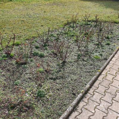 desherbage-rosiers